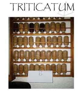 triticatum.jpg